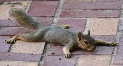 squirrel_flat2